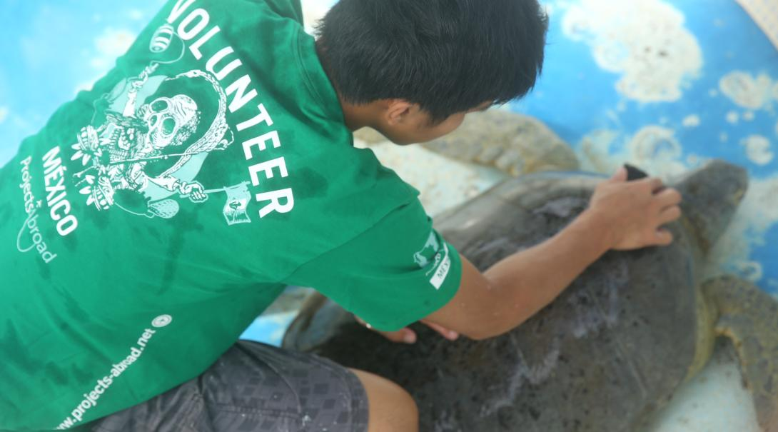 Conservation intern cleans the shell of a sea turtle in Mexico as part of his marine research project.